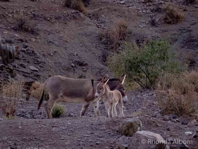 Wild donkey and foal