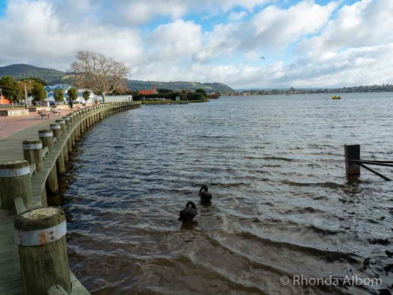 Black swans on Lake Rotorua seen from the lakeside trail, one of the free things to do in Rotorua New Zealand