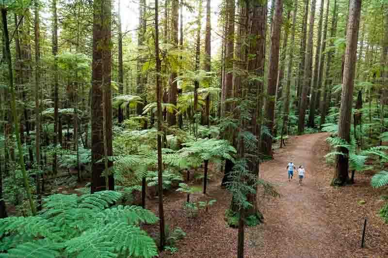 Redwoods trees in the Whakarewarewa Forest