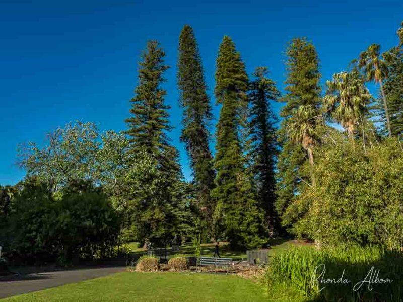 Árboles altos en los jardines botánicos de Adelaida
