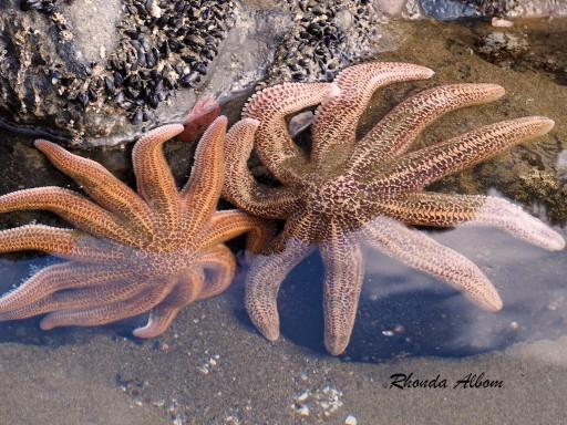 Starfish at King Tide