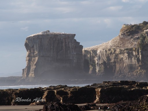 Gannet Island at Muriwai Beach