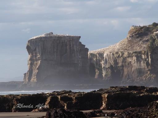 Gannet Island at Muriwai Beach