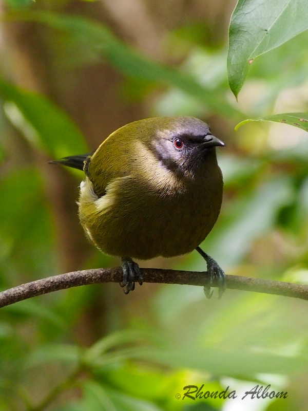 Bellbird, endemic to New Zealand and commonly seen in much of the country