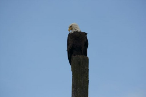 Bald Eagle seen on travel photos tips safari