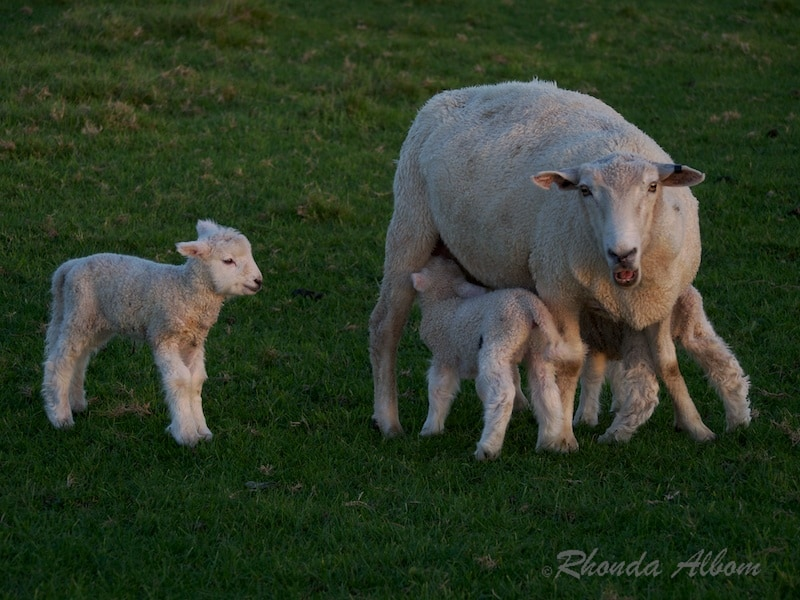Newborn lambs with their mama (New Zealand)
