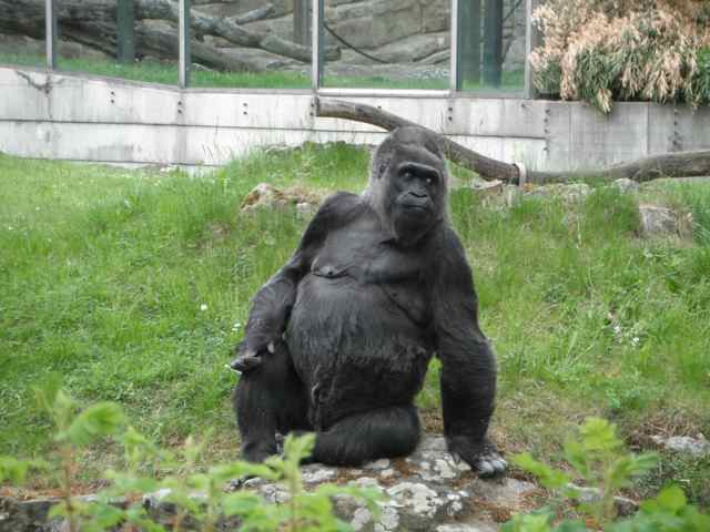 Gorilla in an outdoor enclosure at the Berlin Zoo