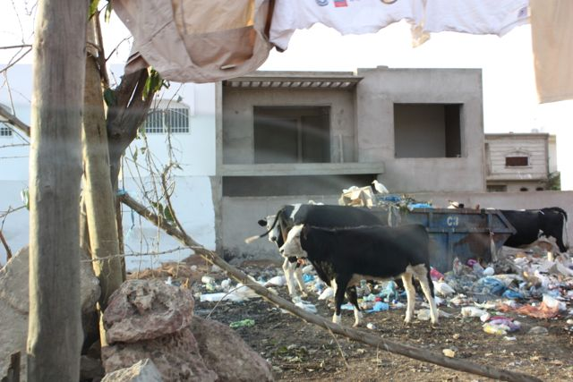 cows in casablanca