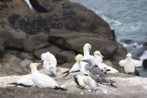 gannets are boobies