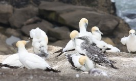 gannets in New Zealand