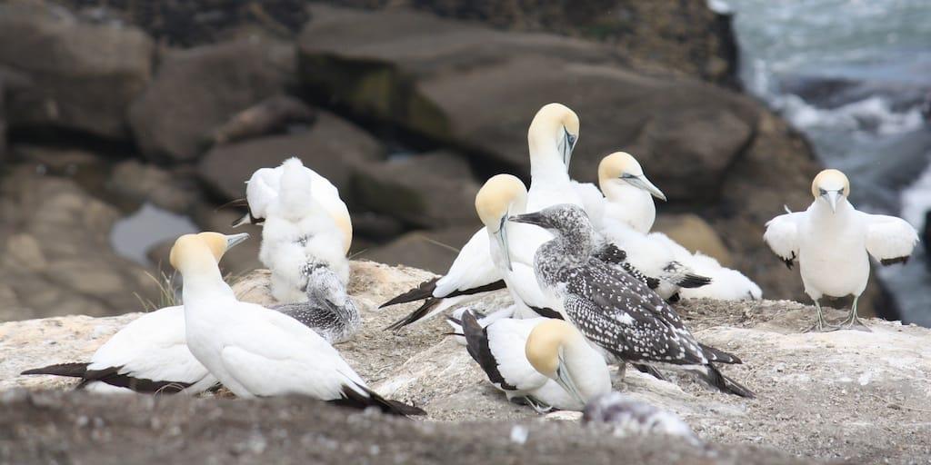 gannets in New Zealand