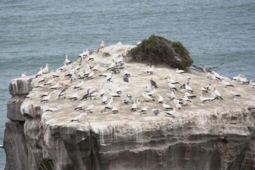 gannets on a rock