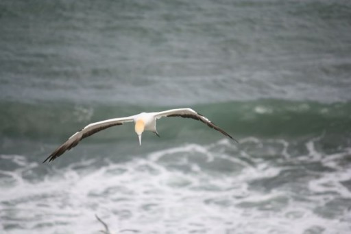 Flying Gannet at the Beach
