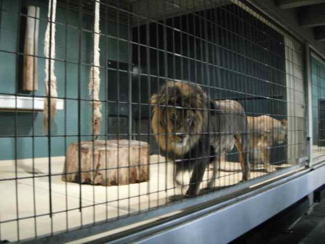 Lions pacing in the indoor cage at the Berlin Zoo