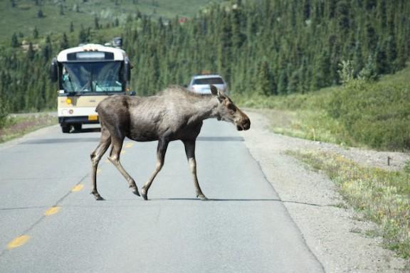 Moose Crossing Road in Denali