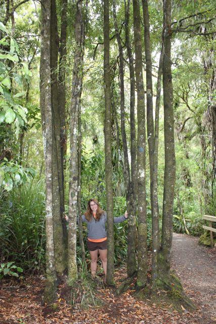 New Zealand Kauri