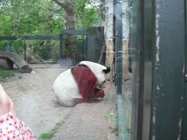 The giant panda, waiting to be fed at the Berlin Zoo