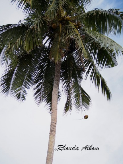 Tossing a coconut from a Palm Tree