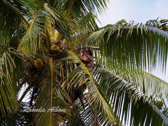 Step 1: Climb to the top of the coconut palm tree