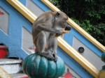 Wild Monkeys at Batu Caves in Malaysia