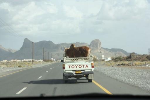 Cow in Truck