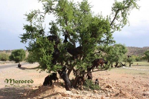 Argan trees with goats