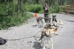 Mushing in Alaska – Working Sled Dog Demonstrations